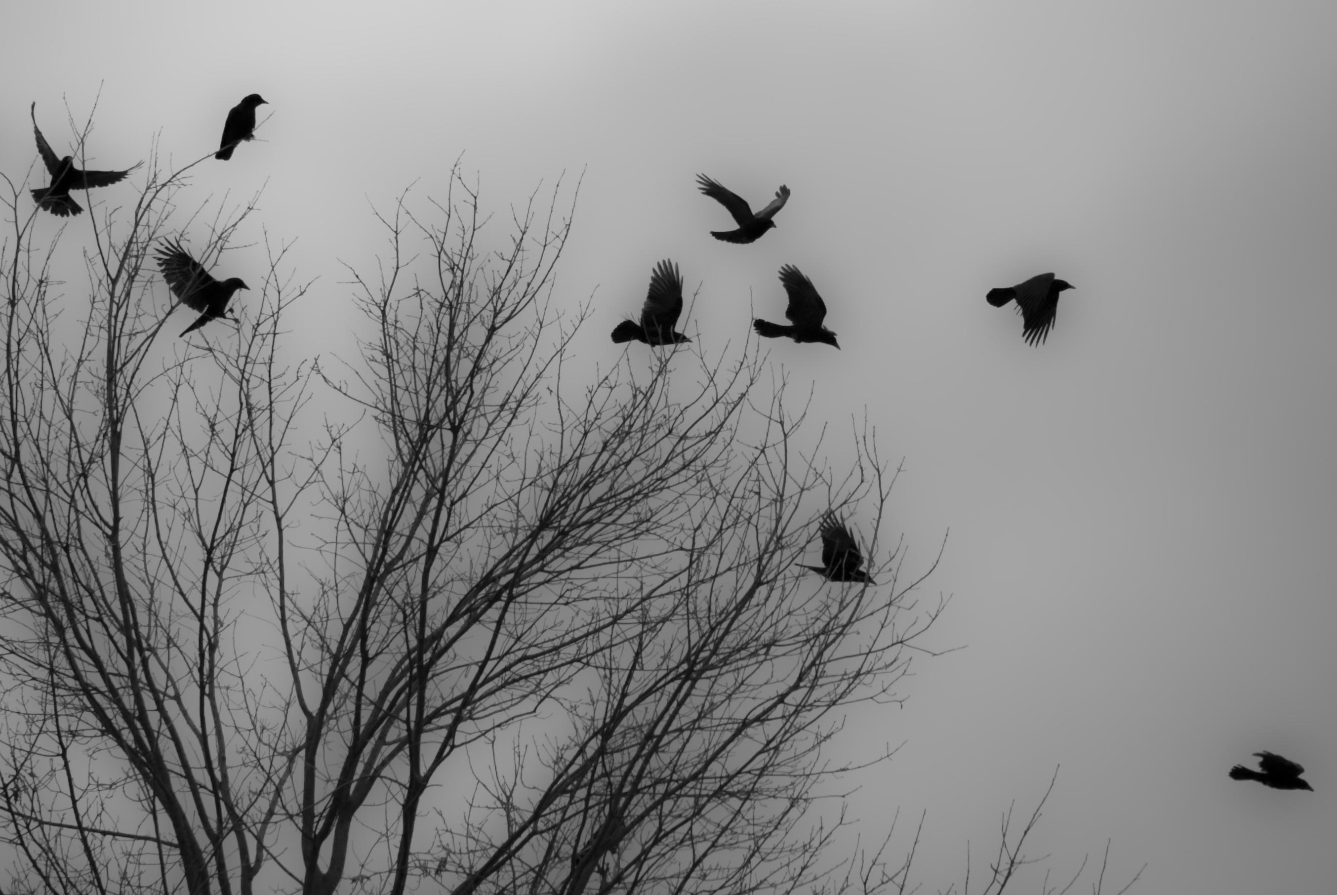 Black Crow Flying