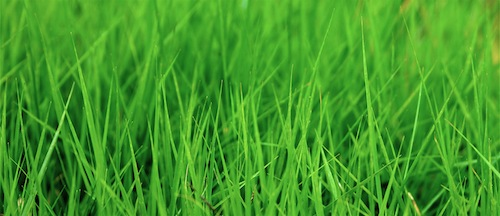 greenGrass 500x216