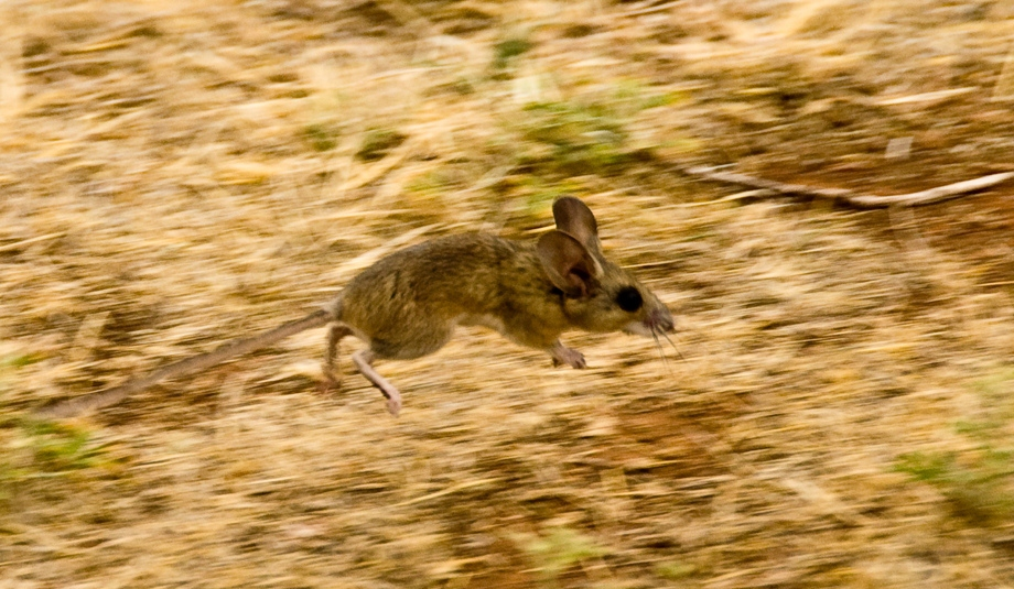 Deer Mouse on the Run