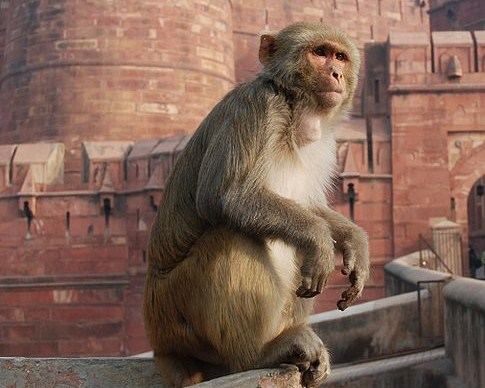 485px-Macaque_India_3