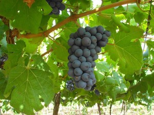 Fat Sao Francisco Grapes