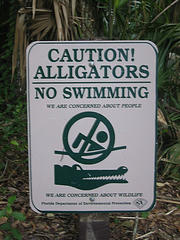 alligator swim