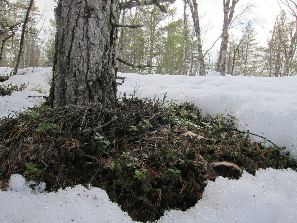 A patch of ground around a tree in the snow.