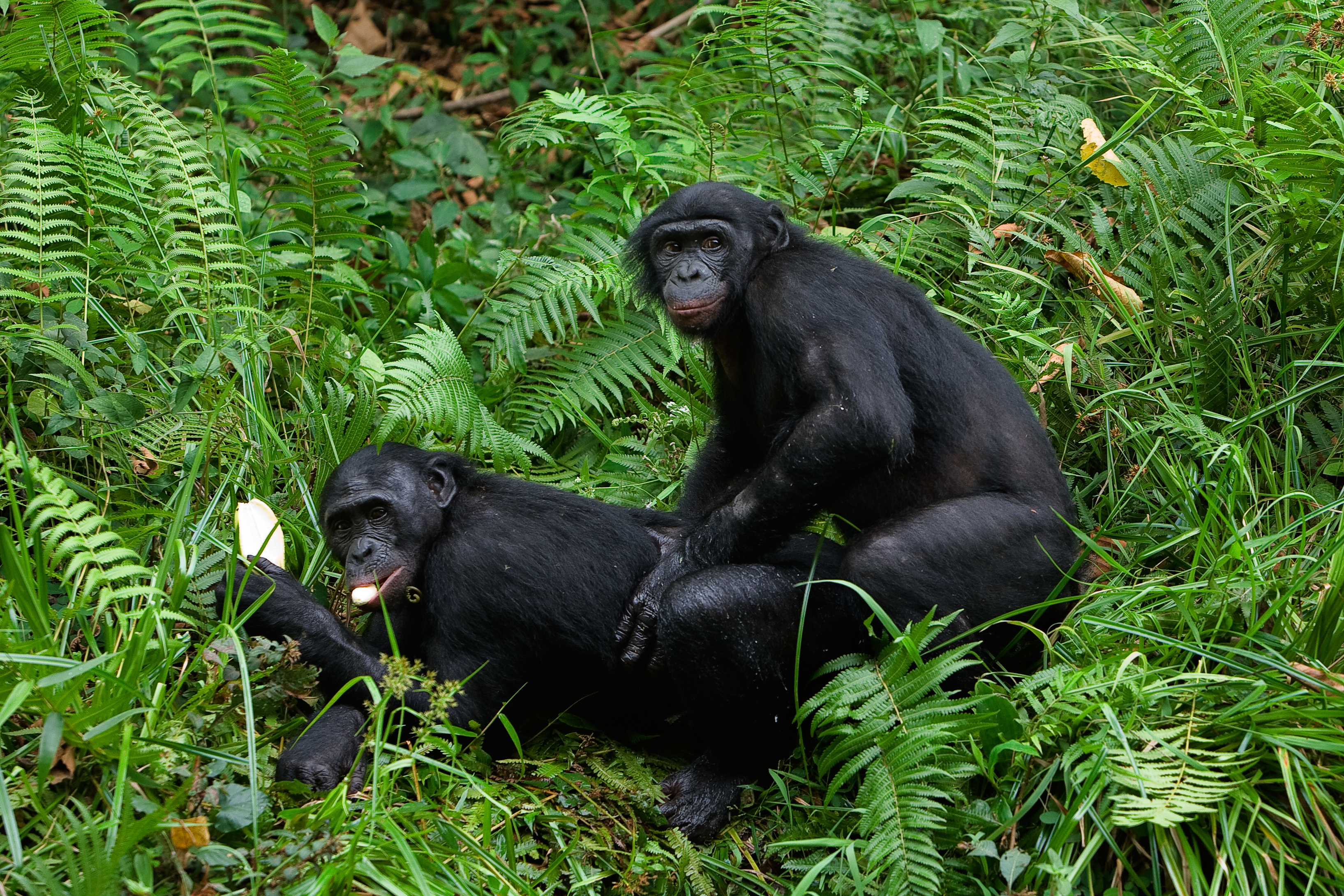 Смотреть половые органы у обезьян онлайн 12 фотография