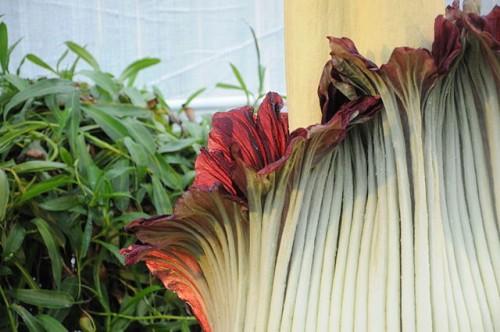 Amorphophallus_titanum_-_Botanischer_Garten_der_Universität_Basel_07