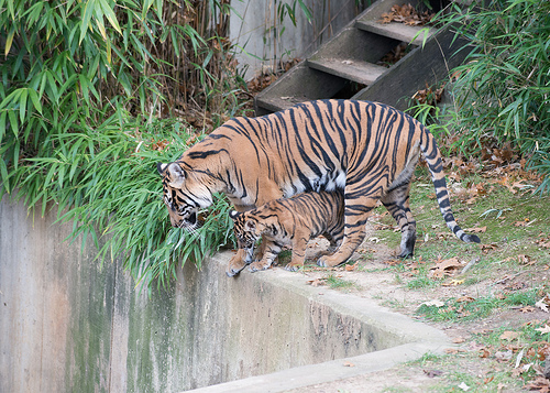 One of the National Zoo's Sumatran tiger cubs explores with its mother.