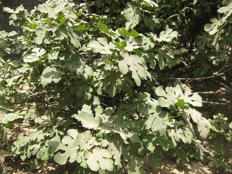 A healthy fig tree.