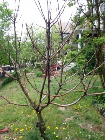 My sad fig tree.