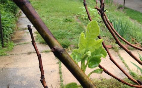 One leaf emerges.