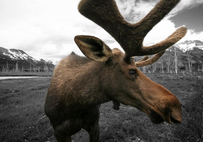 Moose_DougBrown1