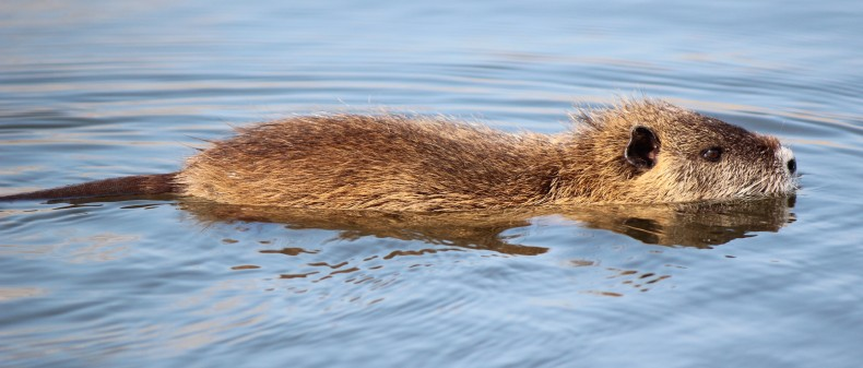 Myocastor_coypus_swimming