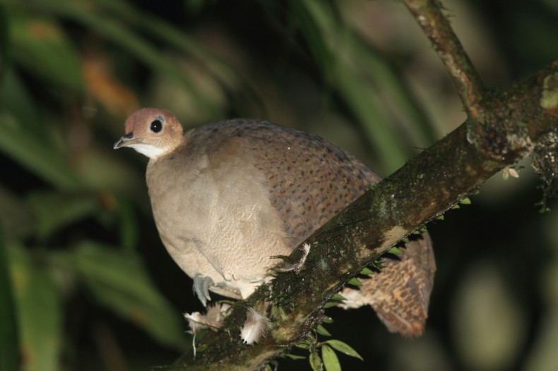 great tinamou in the amazon