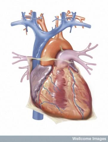 N0022611 Anatomy of the heart. Anterior aspect.