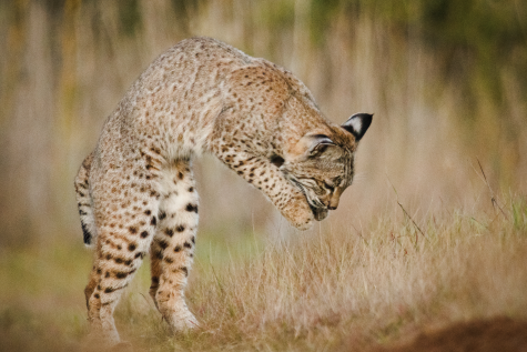 bobcat cropped