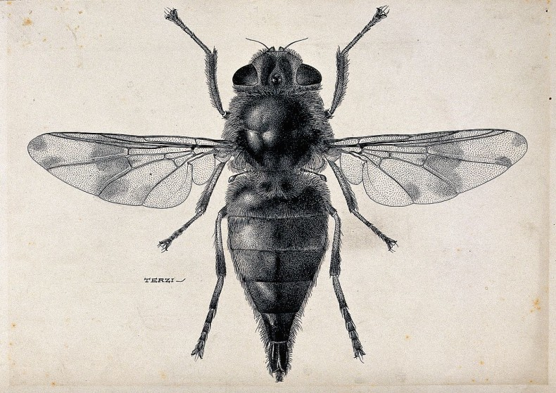 A_horse_botfly_(Gasterophilus_intestinalis)._Pen_and_ink_dra_Wellcome_V0022577
