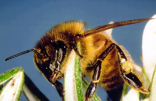 CSIRO_ScienceImage_61_The_European_Honeybee_Apis_mellifera
