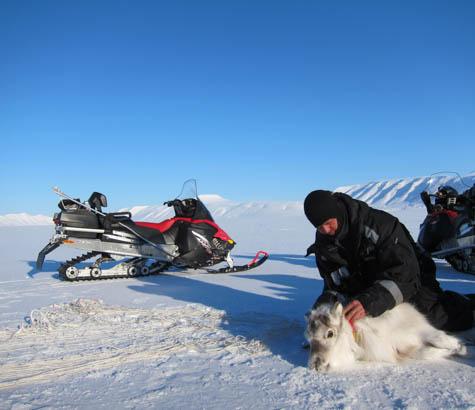A scientist kneels over a reindeer.