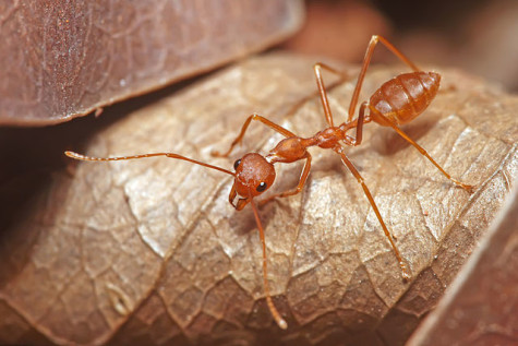 Red_Weaver_Ant,_Oecophylla_smaragdina (1)