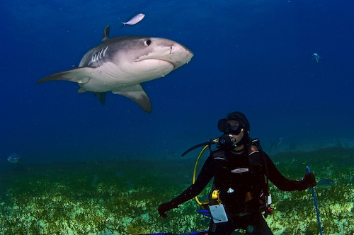 Jennifer Holland with a large Tiger Shark in the Bahamas