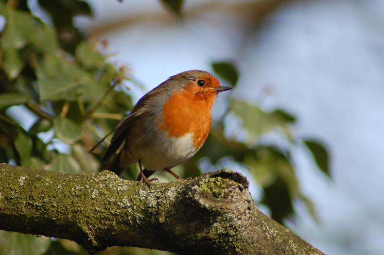 An English robin perches on a branch.