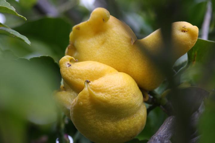 ugly lemon-3