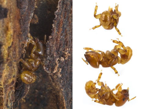 Melissotarsus emeryi is deft at crawling through wood tunnels but seemingly incapable of walking on flat ground.