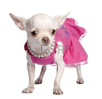 5085261-chihuahua-in-front-of-a-white-background