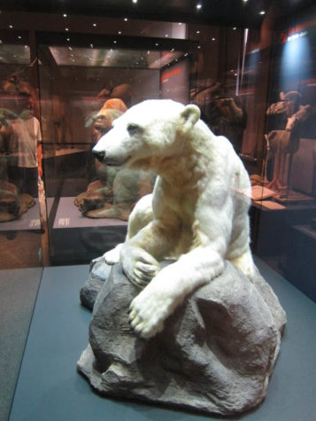 A stuffed polar bear in a museum case