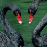 black-swan-animal-wallpaper-2