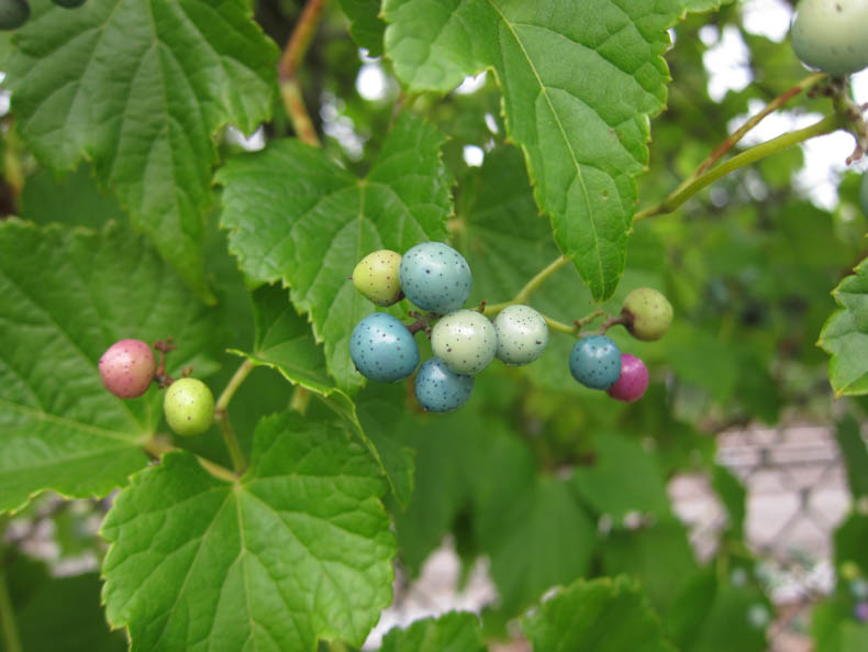 blue, green, and pink berries