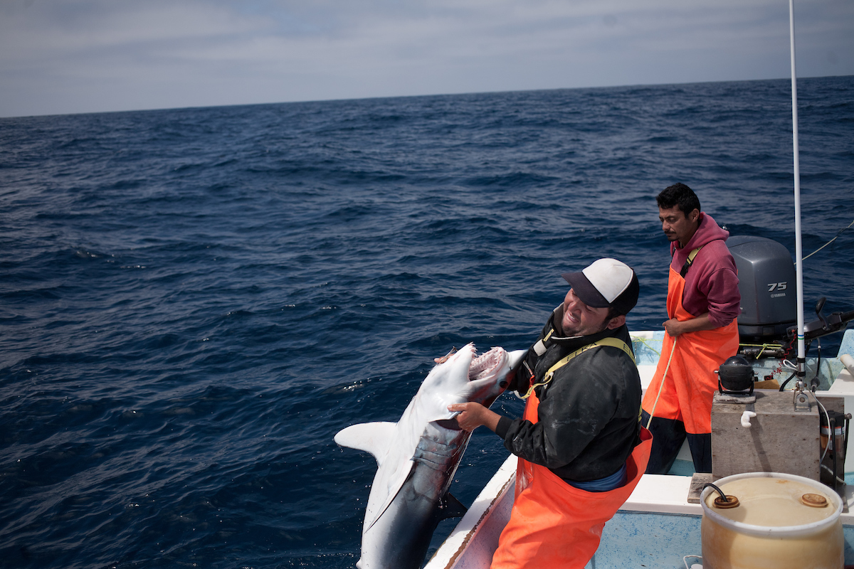 """(sequence) Pedro """"Whitey"""" Romero pulls a mako shark on board. Romero works waters at a depth of around 1,000 feet deep about 50 miles offshore. (Dominic Bracco II / Prime for Pulitzer Center on Crisis Reporting)"""