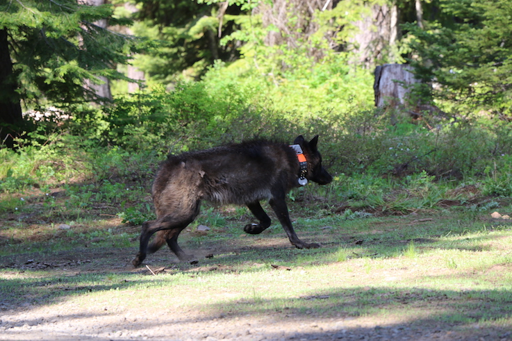 A black wolf, photographed midstride, with a prominent GPS collar