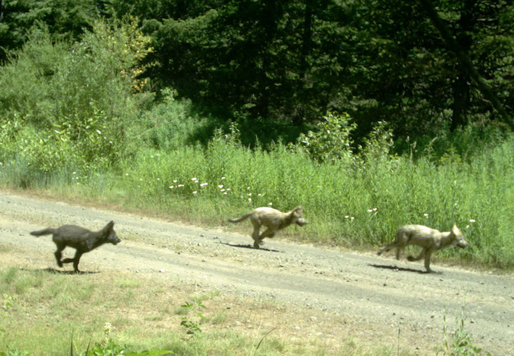 Three furry wolf pups sprint down a dirt road