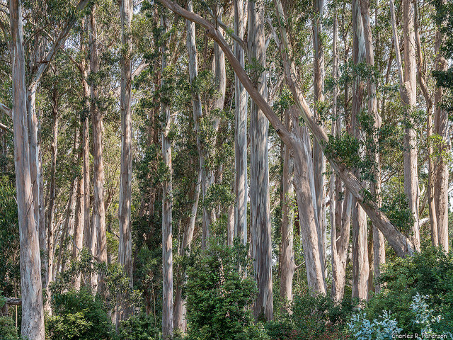 A grove of eucalyptus trees, viewed at trunk level, with whitish bark