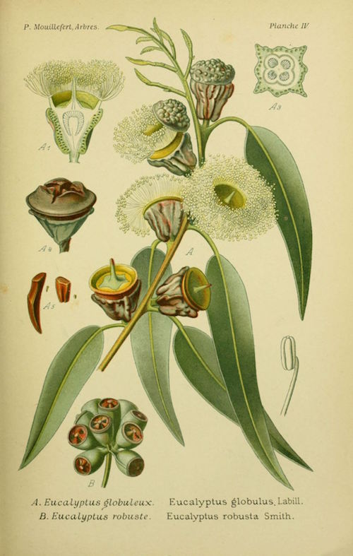 A botanical illustration showing the leaves, seeds, and flowers of the tree