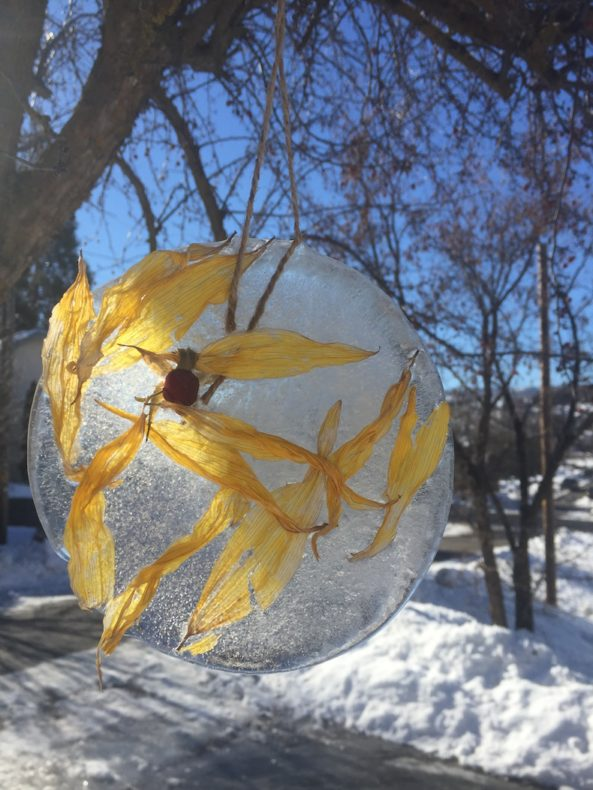 yellow sunflower petals are trapped in a disc of ice, handing by twine from a tree in the sun.