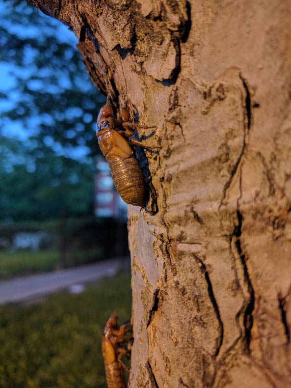 Fifth-instar cicadas drag themselves up a tree trunk.