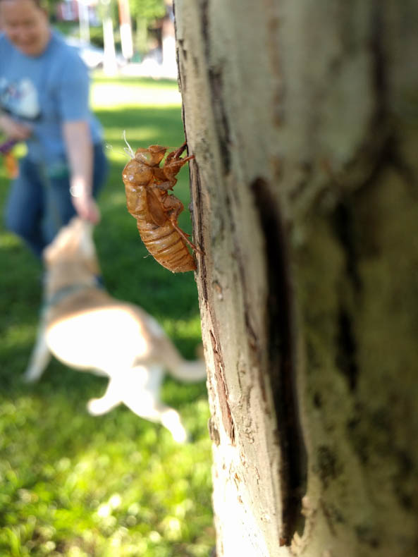 Cicada shell on tree trunk (with blurry human and dog behind)