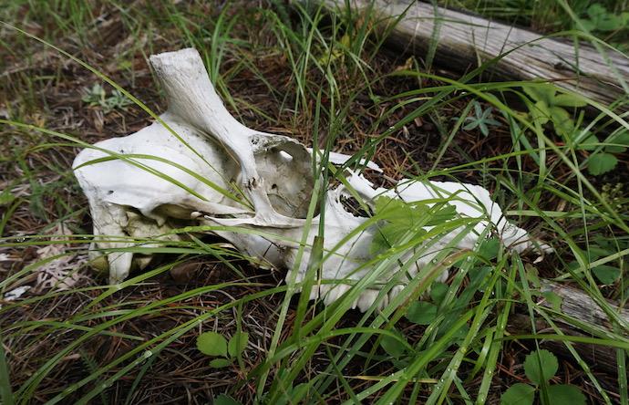 An elk skull nestled in dewy grass